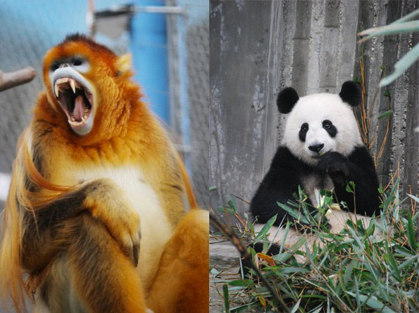 golden-snubbed-nosed-monkey-and-giant-panda
